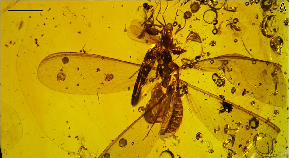Dvacet sedm šestinohých fosilizovaných v jantaru z Dominikánské republiky, podle Robin, N., D'Haese, C. & Barden, P. Fossil amber reveals springtails' longstanding dispersal by social insects. BMC Evol Biol 19, 213 (2019).