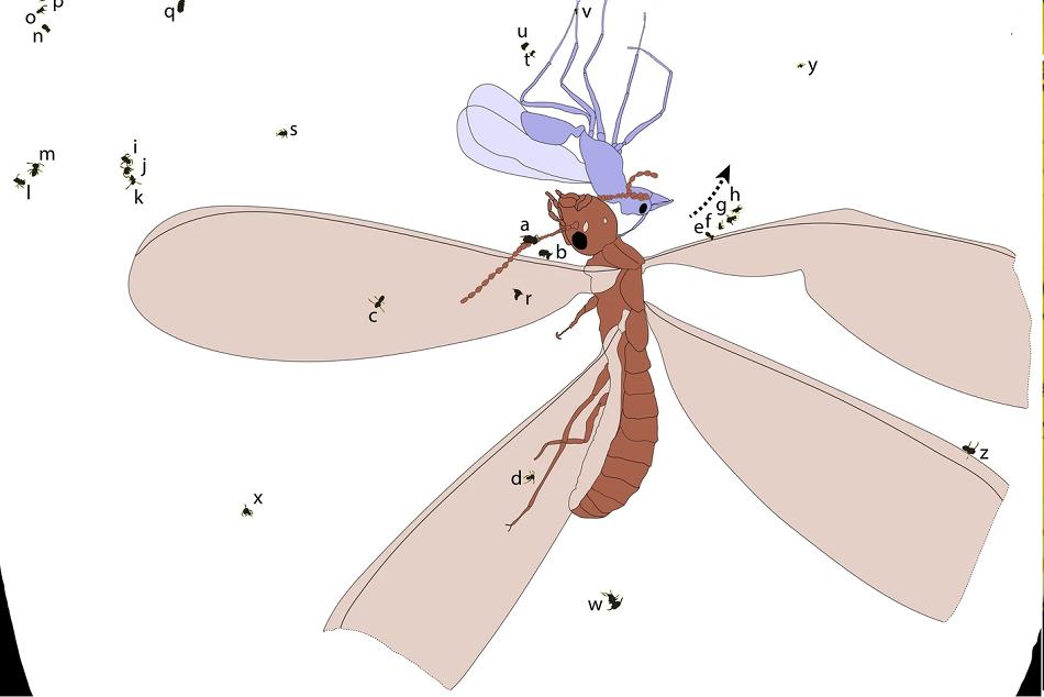 Náčrtek fosilních nálezů šestinohých  v jantaru z Dominikánské republiky, podle Robin, N., D'Haese, C. & Barden, P. Fossil amber reveals springtails' longstanding dispersal by social insects. BMC Evol Biol 19, 213 (2019).