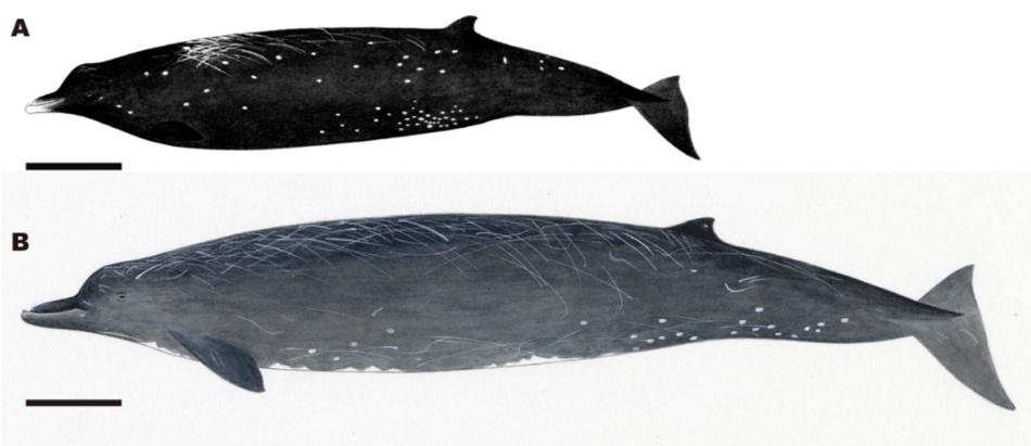 Porovnání vorvaňovce Berardius minimus (A) a vorvaňovcem velkým (B). Černá úsečká je 1 m dlouhá (Tadasu K. Yamada et al., Scientific Reports. August 30, 2019).