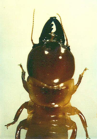 Termit Pterotermes occidentis z čeledi Kalotermitidae