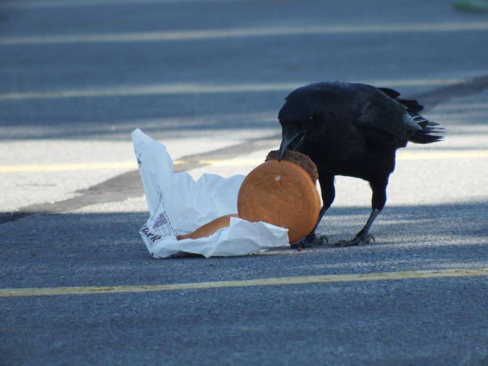 Vrána americká hodojící na hamburgeru, foto Andrea K.Townsend.