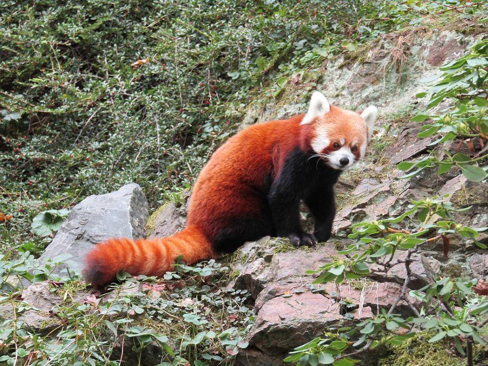 Himalájská červená panda v Zoo Praha, foto Vachovec1 / CC BY-SA (https://creativecommons.org/licenses/by-sa/4.0).