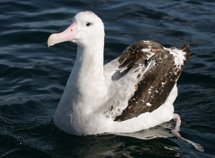 Albatros stěhovavý (Diomedea exulans), jeden ze zástupců početné čeledi albatrosovitých (foto autor: Mark Jobling –http://en.wikipedia.org/wiki/Image:070226_wandering_albatross_off_Kaikoura_3.jpg, Volné dílo, https://commons.wikimedia.org/w/index.php?curid=2144108).