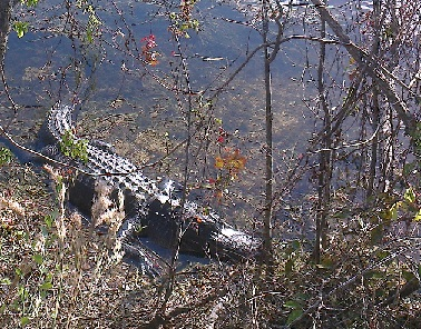 aligátor americký (Alligator mississippiensis), Everglades National Park, Florida, USA, listopad 2012.
