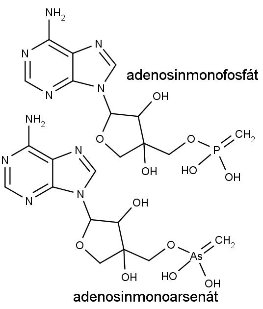 Nahoře se nachází adenosinmonofosfát, jeden ze stavebních kamenů nukleových kyselin. Dole stejná molekula, v níž je atom fosforu nahrazen arsenem.