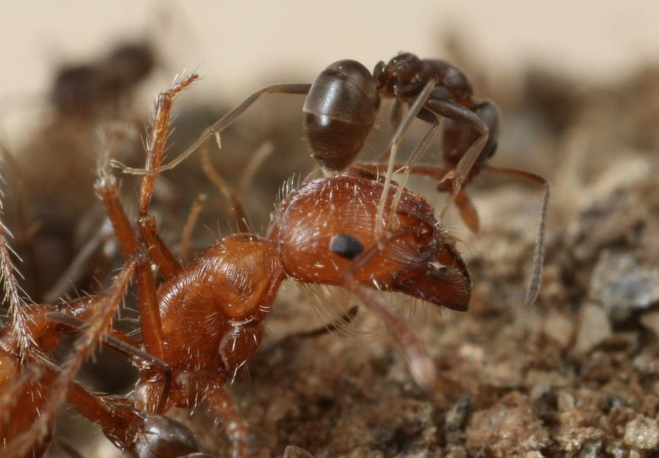 Mravenec argentinský Linepithema humile útočí na kalifornského mravence Pogonomyrmex californicus, foto Dr. Dong-Hwan Choe, K.F.Welzel et al., Verification of Argentine ant defensive compounds and their behavioral effects on heterospecific competitors and conspecific nestmates, Scientific Reports, volume 8, Article number: 1477 (2018), CC BY 4.0, https://creativecommons.org/licenses/by/4.0/.