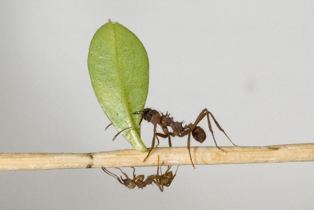 Mravenec druhu Acromyrmex octospinosus nese do hnízda odstřížený lísteček (foto Deadstar0, CC BY-SA 3.0, https://creativecommons.org/licenses/by-sa/3.0) via Wikimedia Commons).