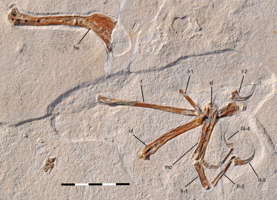 Zkamenělina praptáka Alcmonavis poeschli v solnhofenském vápenci. Měřítko je 5 cm dlouhé, obr. O.W:M.Rauhut et al., A non-archaeopterygid avialan theropod from the Late Jurassic of southern Germany, eLife 2019;8:e43789.