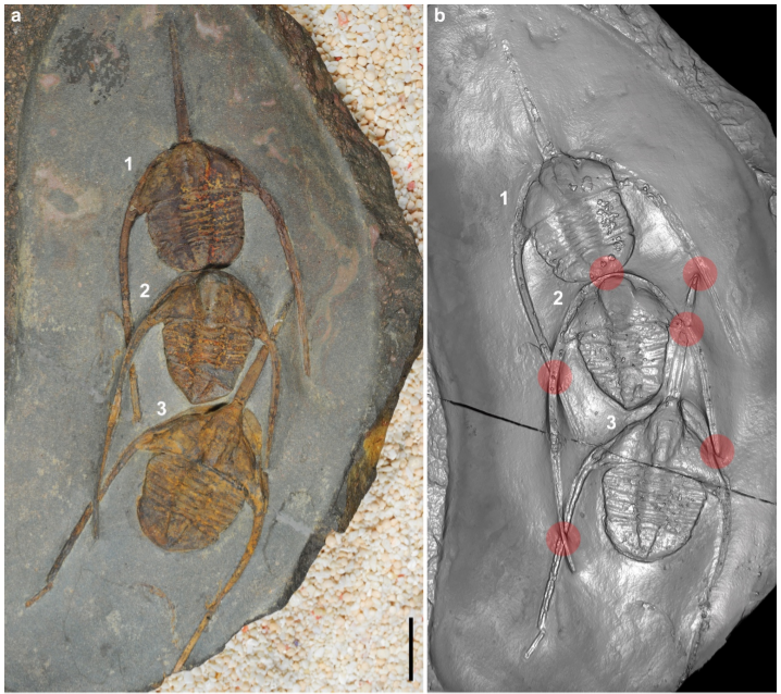 Krátký tříčlenný zástup trilobitů  Ampyx priscus z marocké břidlicové formace Fezouata. Černá úsečka dole je 1 cm dlouhá. Foto J.Vannier et al., Scientific Reports, volume 9, Article number: 14941 (2019), CC BY 4.0, http://creativecommons.org/licenses/by/4.0/.