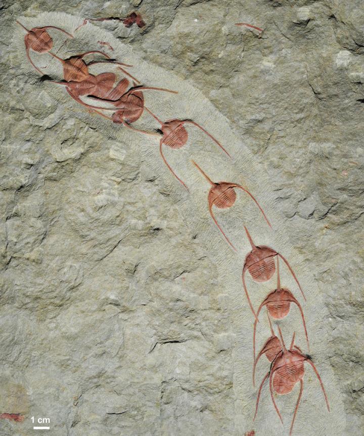 Fosilie zástupu trilobitů Ampyx priscus z marocké břidlicové formace Fezouata, foto Jean Vannier, Laboratoire de Geologie de Lyon: Terre, Planetes, Environnement (CNRS / ENS de Lyon / Université Claude Bernard Lyon 1).