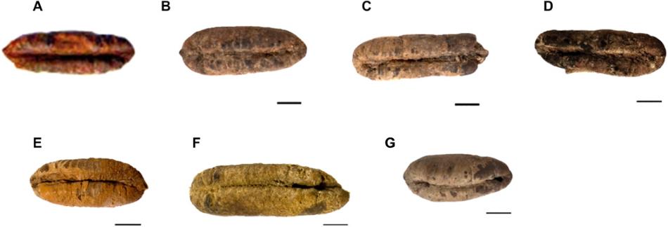 Kolem 2.000 let stará semena z Izraele, ze kterých vzešly palmy: (A) Adam, (B) Jonáš - Jonah, (C) Uriel, (D) Boaz, (E) Judita - Judith, (F) Hana - Hannah. Písmeno G označuje kontrolní nevysazené semeno HU37A11.
