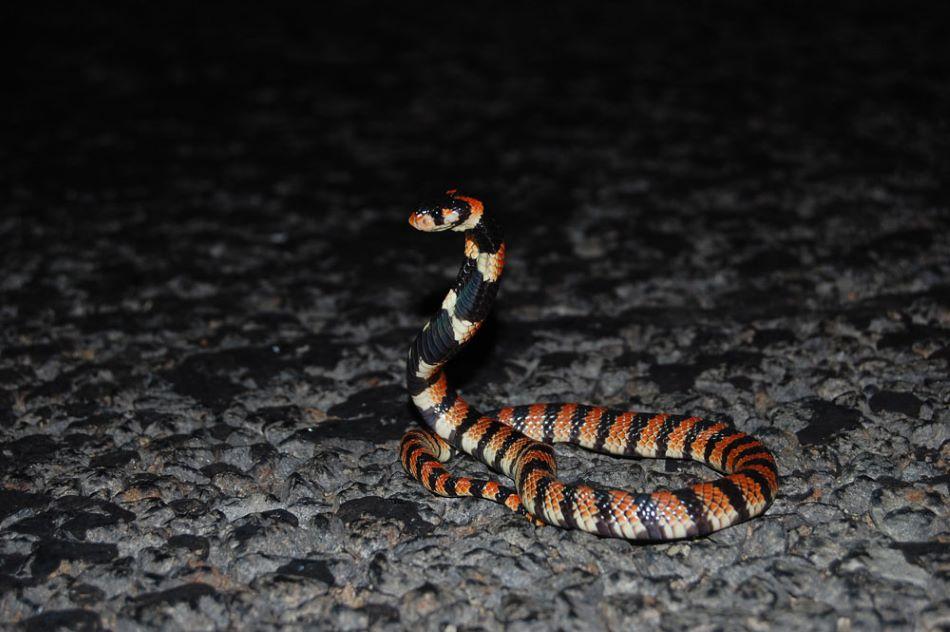 Kobřík kapský  (Aspidelaps lubricus,  angl. Cape coral snake, noční jihoafrický jedovatý had, jeden z devíti druhů, jejichž jedové žlázy byly pěstovány, foto Ryanvanhuyssteen/CC BY-SA (https://creativecommons.org/licenses/by-sa/3.0).