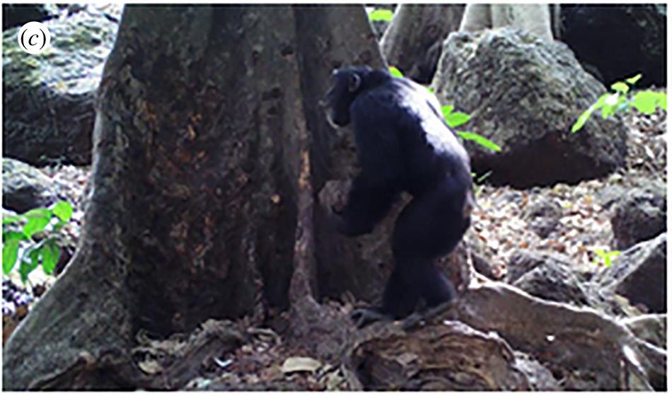 Šimpanz se chystá k úderu kamenem do afrického stromu Treculia africana, jehož ovoce také požívá, foto Ammie K. Kalan et al.,  Chimpanzees use tree species with a resonant timbre for accumulative stone throwing, Biology Letters, 2019, doi: 10.1098/rsbl.2019.0747.
