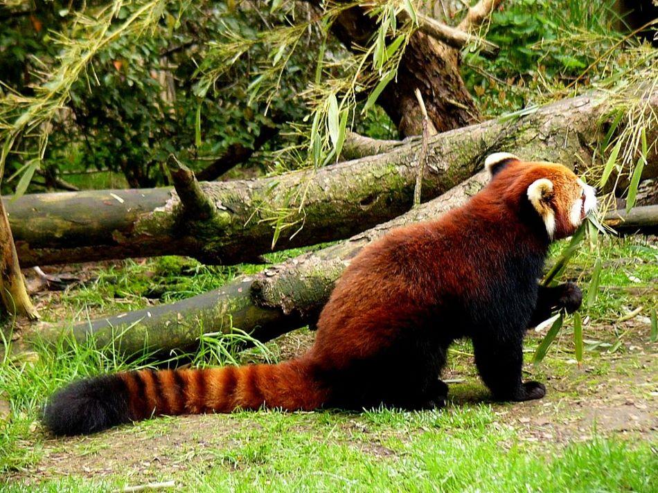 Čínská panda červená požírající bambus, foto saska01 / CC BY-SA (http://creativecommons.org/licenses/by-sa/3.0/).
