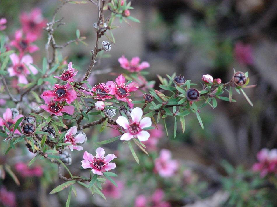 Listy, květy a plody balmínu metlatého, Forest & Kim Starr, CC BY 3.0, https://creativecommons.org/licenses/by/3.0.