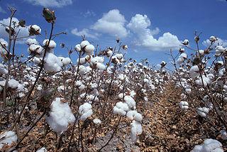 Zralý geneticky modifikovaný bavlník (foto David Nance, US Agricultural Research Sevice).