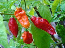 Chilli paprička Bhut Jolokia, foto Asit K. ghosh Thaumaturgist,  Creative Commons Attribution-Share Alike 3.0 Unported licence.