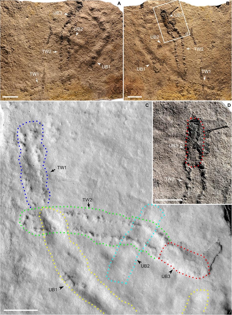 Zkamenělé otisky stop neznámého ediakarského tvora, foto Zhe Chen et al., Late Ediacaran trackways produced by bilaterian animals with paired appendages, Science Advances  06 Jun 2018:, Vol. 4, no. 6, eaao6691, DOI: 10.1126/sciadv.aao6691, CC BY-NC 4.0, https://creativecommons.org/licenses/by-nc/4.0/.
