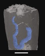 Rekonstrukce blastoida vytvořená rentgenovým tomografickým mikroskopem. Modře je vyznačeno střevo poupěnce, bílá úsečka je 0,5 mm dlouhu