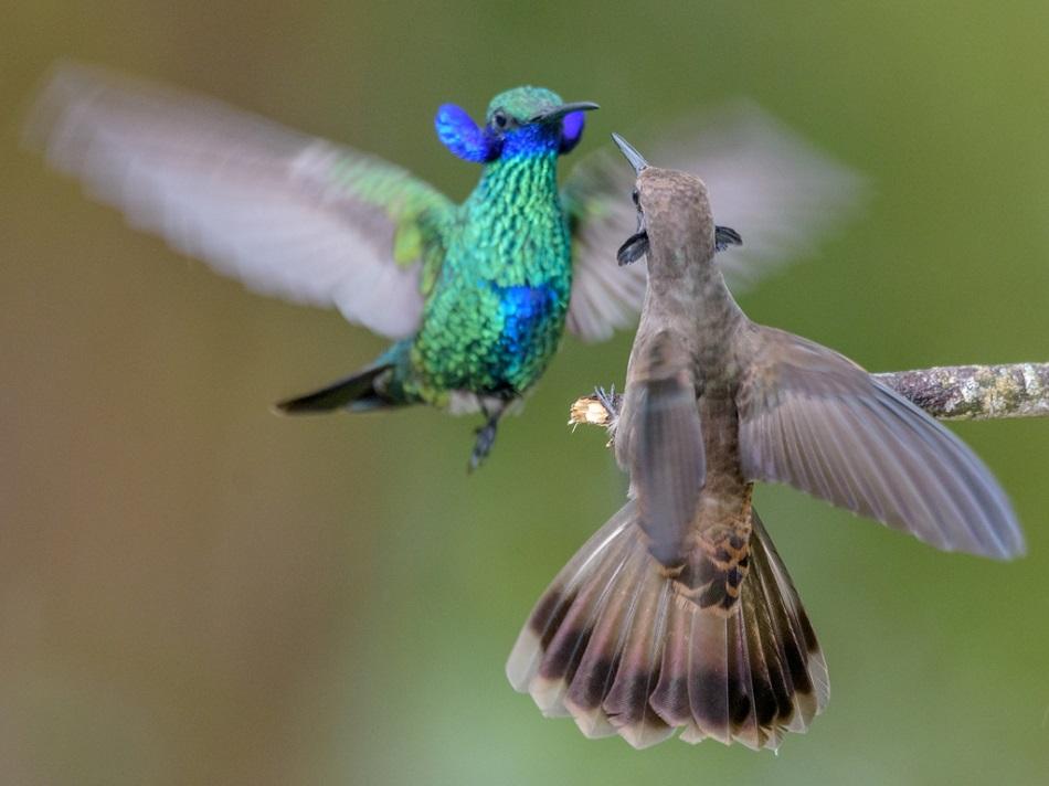 Kolibříci v boji, foto  Cristian Irian, Finca Colibrí Gorriazul, Colombia.