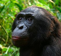 Šimpanz bonobo neboli Pan paniscus (Foto Evanmaclean 2008, via Wikimedia Commons, volné užití). Typickým znakem tohoto druhu jsou chlupy přerůstající přes uši.