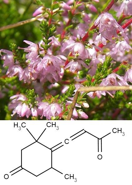 Nahoře kvetoucí vřes obecný (Calluna vulgaris), dole chemická struktura kalunenu (callunene).