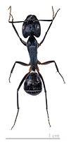mravenec Camponotus fellah, Izraeal, foto  Didier Descouens 5.7.2011, Wikimedia Commons, Creative Commons CC BY. Úsečka v dolní části obrázku je 1 cm dlouhá.