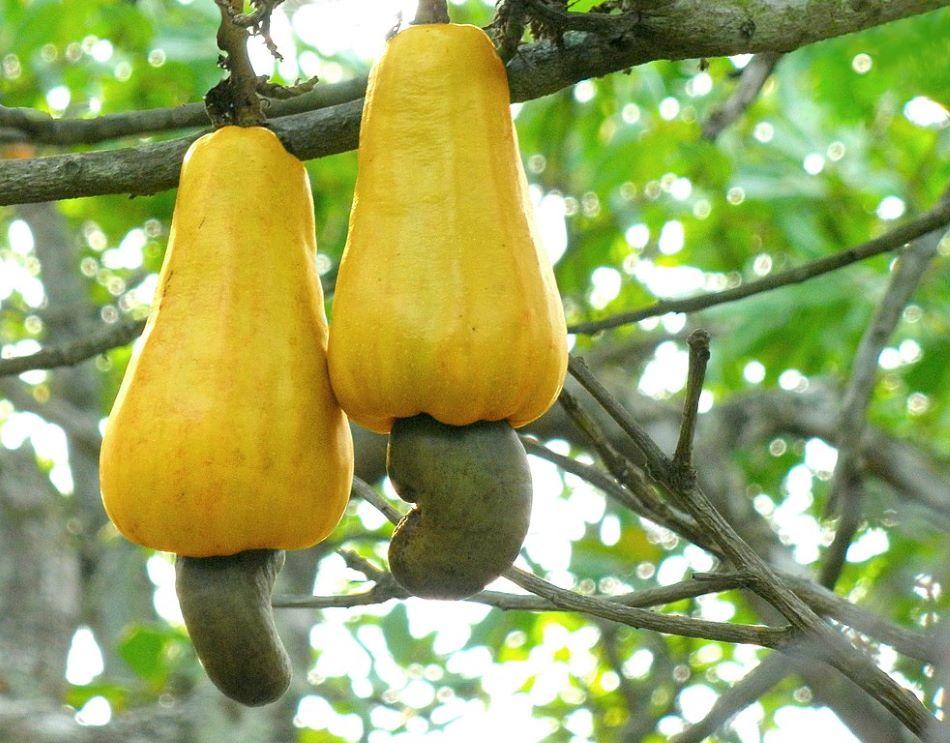 Plody vysokého tropického stromu ledvinovníku západního (Anacardium occidentale). Pod žlutou hruštičkou visí ta část plodu, kterou známe jako kešu oříšek. V tropických oblastech se jí nebo zkrmuje i dužnatá část plodu zvaná kešu jablko, foto Abhishek Jacob [CC BY-SA 3.0 (https://creativecommons.org/licenses/by-sa/3.0)].