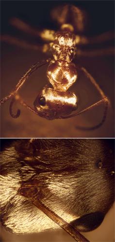 Mravenec C. bombycinus (nahoře) a detail jeho tělního pokryvu (dole), foto Norman Nan Shi a Nanfang Yu Columbia University.