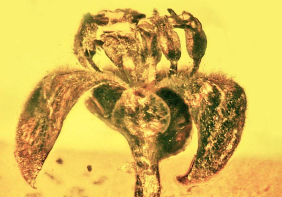 V barmském jantaru uchovaný květ vyhynulé rostliny Cascolaurus burmensis, foto Oregon State University.