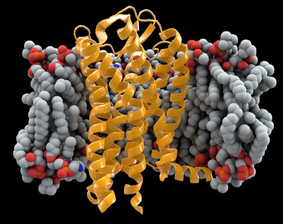Bílkovina CCR5 zapuštěná v buněčné membráně, obr Thomas Splettstoesser (www.scistyle.com), CC BY-SA 3.0, https://creativecommons.org/licenses/by-sa/3.0, via Wikimedia Commons.