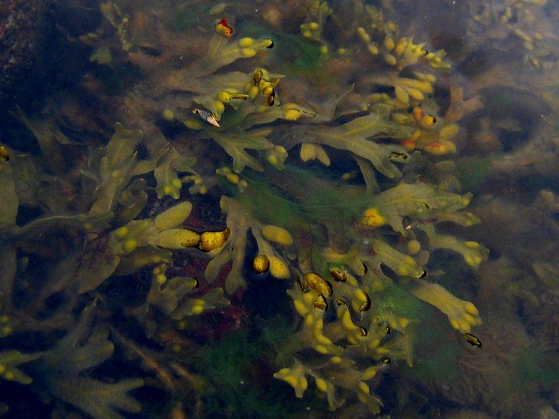 Mnohobuněčná mořská řasa chaluha bublinatá (Fucus vesiculosus), foto Chaluhy Kristian Peters -- Fabelfroh 12:47, 31 December 2006 (UTC) [CC BY-SA 3.0 (http://creativecommons.org/licenses/by-sa/3.0/)].