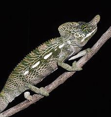 samec chameleona Furcifer labordi, foto Christopher Raxworthy.