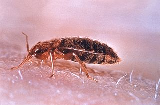 štěnice domácí (Cimex lectularius), foto  United States Department of Health and Human Services, via wikipedia.
