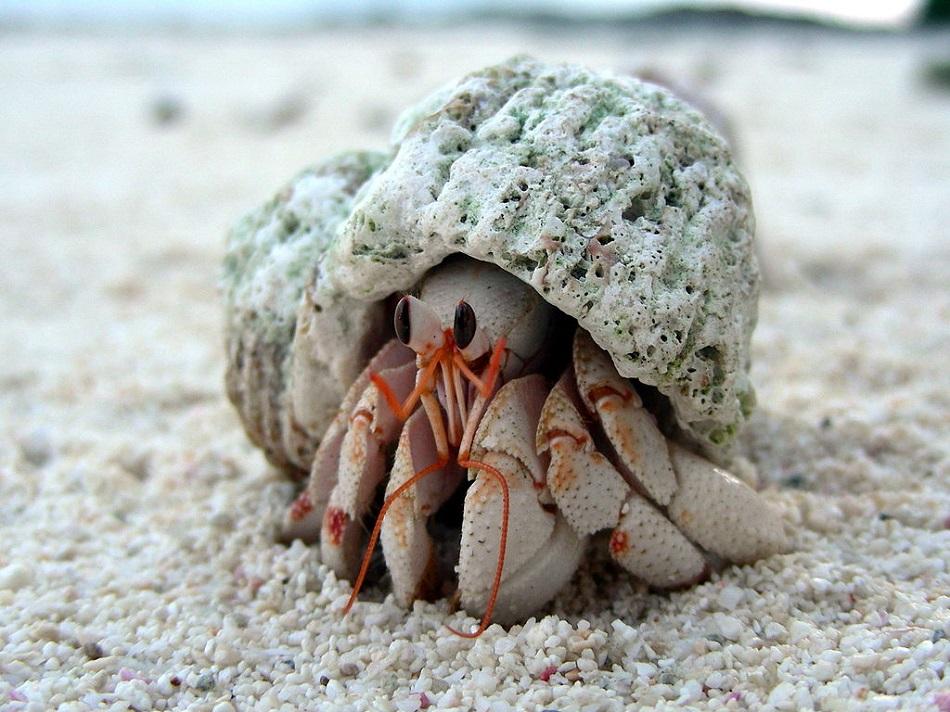 Krab Coenobita perlatus patří do skupiny desetinohých korýšů, které laicky nazýváme krabi nebo raci poustevníčci. Najdeme mezi nimi druhy mořské, čistě suchozemské i semiterestrické, public domain via Wikimedia Commons.