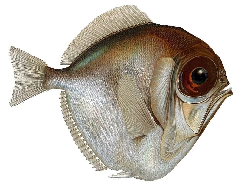 Hlubokomořská ryba beztrnovka stříbřitá Diretmus argenteus dorůstá 30 až 40 cm, obr. Emma Kissling [Public domain].