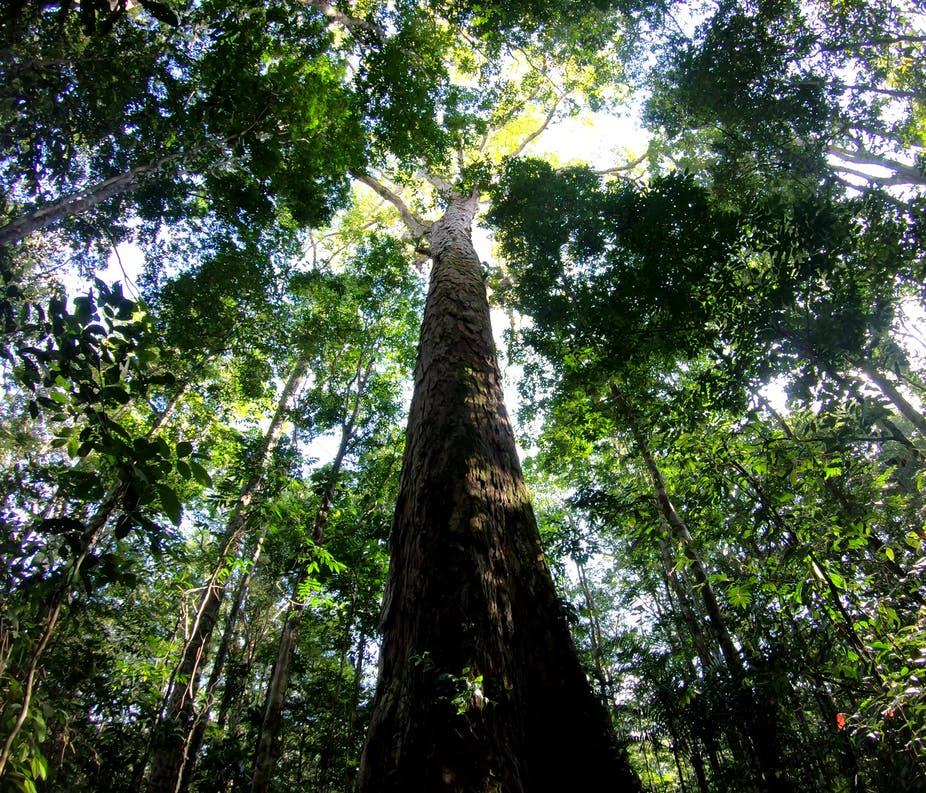 Dinizia excelsa, nejvyšší strom Amazonie i světa, foto Tobias Jackson.
