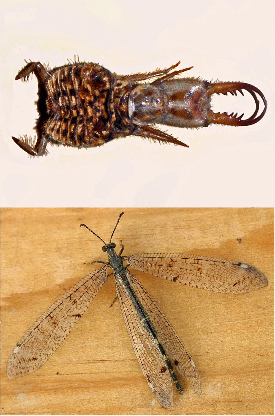 Nahoře dravá larva mravkolva ostruhatého (Distoleon tetragrammicus), foto Hectonichus, CC BY-SA 3.0, https://creativecommons.org/licenses/by-sa/3.0, dole dospělý jedinec téhož druhu, foto  Entomart.