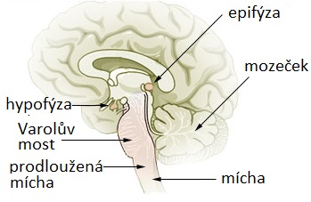 Poloha šišinky mozkové neboli epifýzy na řezu lidským mozkem, public domain, via Wikimedia Commons.