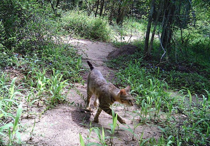 Kočka domácí na lovu v pralesích Madagaskaru v rezervaci Beza Mahafaly, foto Michelle L.Sauther.