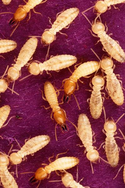 termiti Coptotermes formosanus, foto Scott Bauer/USDA, ARS, IS Photo Unit'file, svolení k užití PD-USGov-USDA-ARS, Wikimedia Commons.