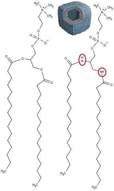 Vlevo příklad chemické struktury běžné  molekuly fosfolipidu. Vpravo chemicky mírně pozměněný fosfolipid vytvářející vezikuly s plochami a hranami. Červeně je vyznačena poloha aminoskupin -NH- zaměněných za kyslíkové atomů -O-. Nahoře mezi oběma molekulami vidíme  schematické znázornění tohoto vezikulu s řezem (Frederik Neuhaus et al. Vesicle Origami: Cuboid Phospholipid Vesicles Formed by Template-Free Self-Assembly, Angewandte Chemie International Edition (2017),  DOI: 10.1002/anie.201701634).