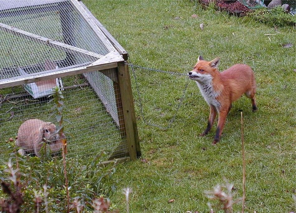 Městská liška na lovu králíka, foto User Oosoom on en.wikipedia / CC BY-SA (https://creativecommons.org/licenses/by-sa/3.0).