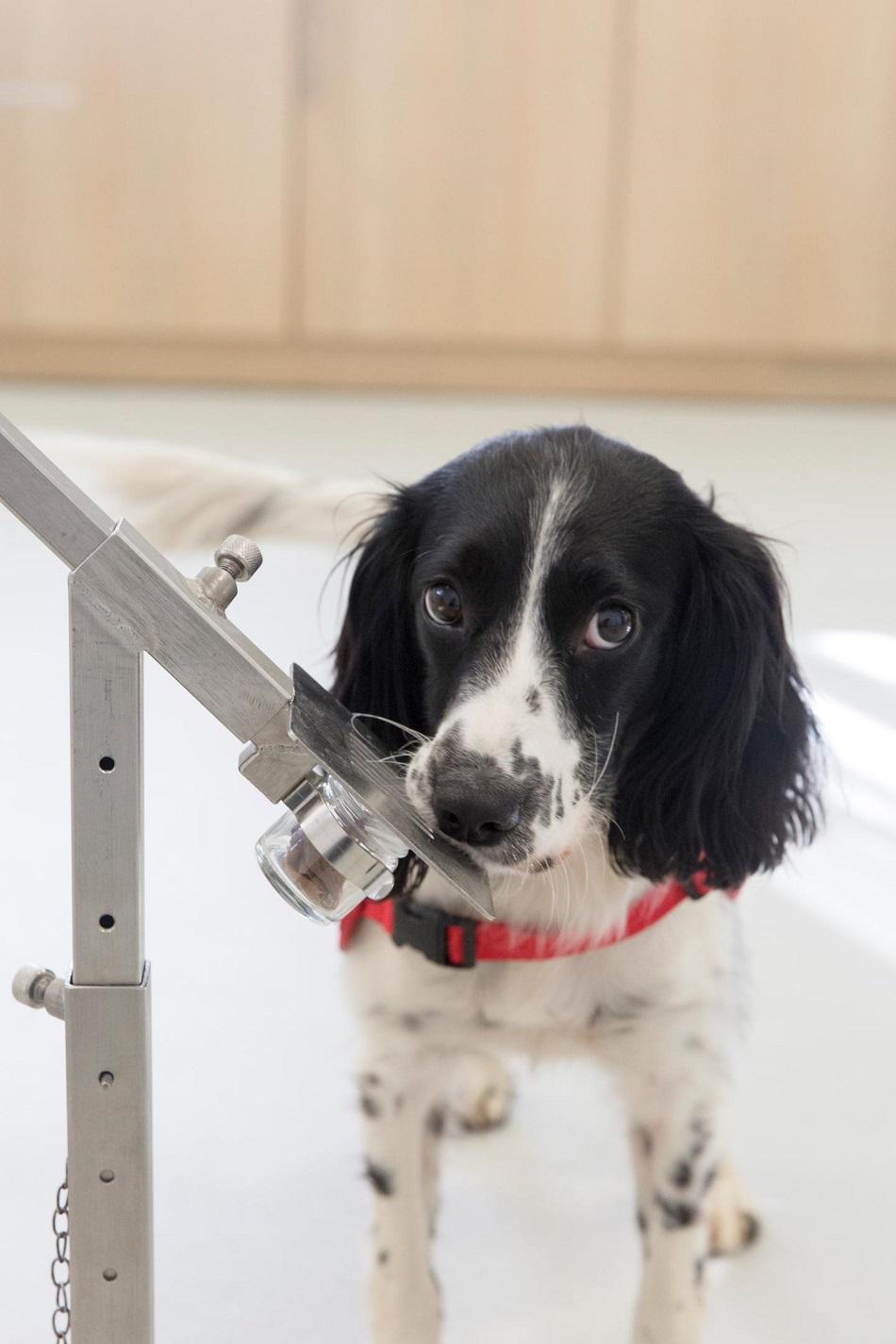 Freya, anglický špringeršpaněl, trénovaný na vičchání malárie, foto Medical Detection Dogs.