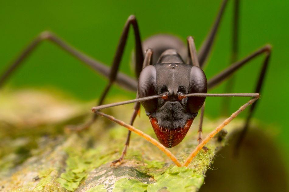 Dělnice mravence Gigantiops destructor. Velké složené oči pokrývající značnou část hlavy jsou pro tento druh typické, foto via WikiMedia Commons.