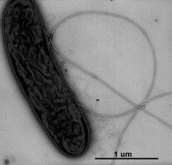 Geobacter metallireducens s bičíkem, S.E.Childers, S.Ciufo, D.R.Lovley, Nature 2002 Apr 18;416(6882):767-9.