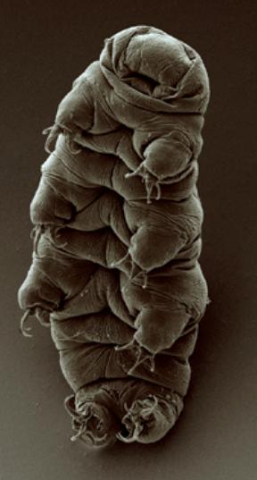 Želvuška Hypsibius dujardini na snímku pořízeném rastrovacím elektronovým mikroskopem, foto  Bob Goldstein a Vicky Madden, University of North Carolina v Chapel Hillu.