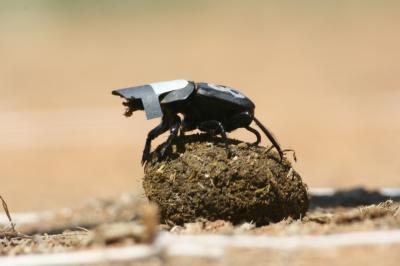 Brouk Scarabaeus zambesianus z vrcholu své kuličky vyhledává světelné zdroje, podle kterých by se zorientoval. Brání mu v tom vědci nasazená čepička.