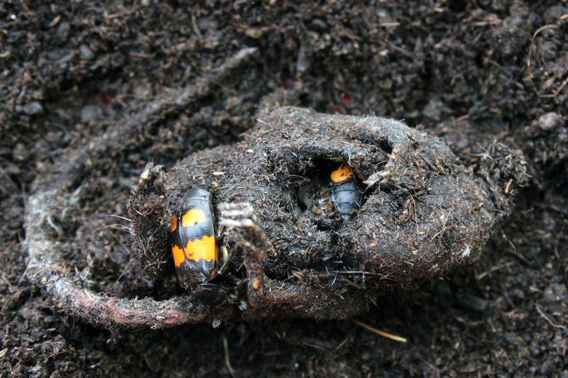 Pár hrobaříků malých připravuje zdechlinu myši pro své larvy (foto Shantanu Shukla, MPI chem. Ökol.).