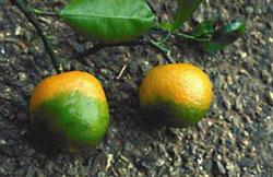 Huanglongbing na mandarinkách, foto PD-USGOV-USDA-ARS.
